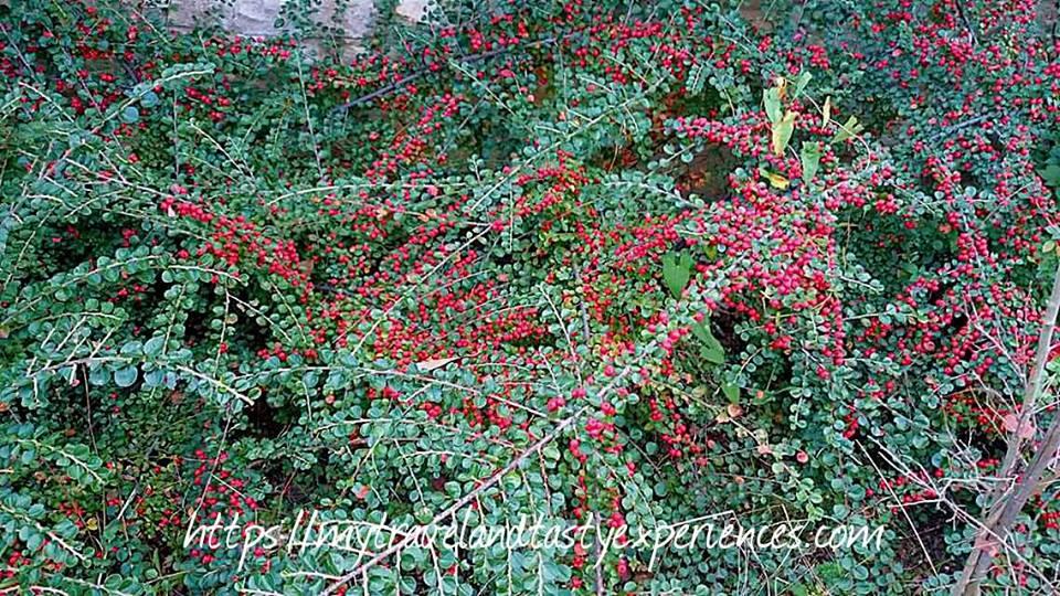 Κόκκινη βελανιδιά που χρονολογείται